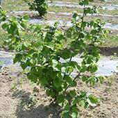 vanzare pomi fructiferi ARBUSTI FRUCTIFERI - Alun altoi ciumbrud
