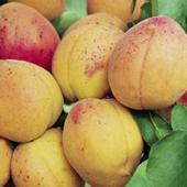 vanzare pomi fructiferi CAIS - CEA MAI BUNA DE UNGARIA ciumbrud