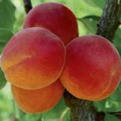 vanzare pomi fructiferi CAIS - SULMONA ciumbrud