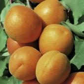 vanzare pomi fructiferi CAIS - UMBERTO ciumbrud