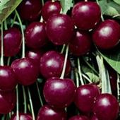 vanzare pomi fructiferi CIRES - HEDELFINGER ciumbrud