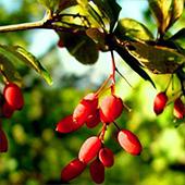 vanzare pomi fructiferi Dracila (Berberis vulgaris L.) ciumbrud