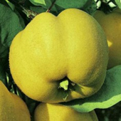 vanzare pomi fructiferi GUTUI - CRISANA ciumbrud