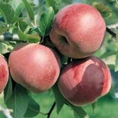 vanzare pomi fructiferi MAR - FLORINA ciumbrud