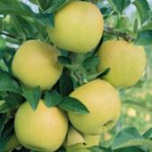 vanzare pomi fructiferi MAR - GOLDEN DELICIOUS ciumbrud