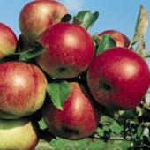 vanzare pomi fructiferi MAR - IDARED ciumbrud
