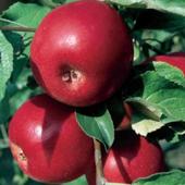 vanzare pomi fructiferi MAR - JONATHAN ciumbrud