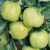 vanzare pomi fructiferi MAR - MUTSU ciumbrud