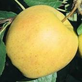 vanzare pomi fructiferi MAR - GOLDEN SPUR ciumbrud