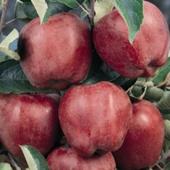 vanzare pomi fructiferi MAR - STARKING DELICIOUS ciumbrud