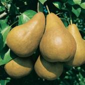 vanzare pomi fructiferi PAR - UNTOASA BOSC ciumbrud