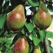 vanzare pomi fructiferi PAR - FAVORITA LUI CLAPP ciumbrud