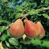 vanzare pomi fructiferi PAR - CLAPP ROSU ciumbrud