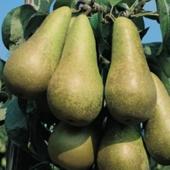 vanzare pomi fructiferi PAR - CONFERENCE ciumbrud