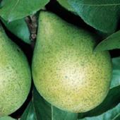 vanzare pomi fructiferi PAR - CONTESA DE PARIS ciumbrud