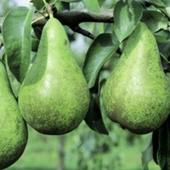 vanzare pomi fructiferi PAR - CURE ciumbrud