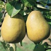 vanzare pomi fructiferi PAR - UNTOASA HARDI ciumbrud