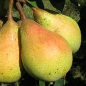 vanzare pomi fructiferi PAR - NAPOCA ciumbrud