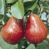 vanzare pomi fructiferi PAR - WILLIAMS ROSU ciumbrud