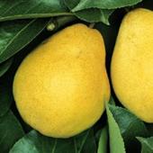 vanzare pomi fructiferi PAR - WILLIAMS ciumbrud