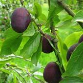 vanzare pomi fructiferi PRUN - ANNA SPATH ciumbrud