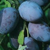 vanzare pomi fructiferi PRUN - SILVIA ciumbrud