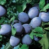 vanzare pomi fructiferi PRUN - STANLEY ciumbrud