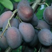 vanzare pomi fructiferi PRUN - TULEU GRAS ciumbrud
