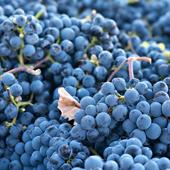 vanzare pomi fructiferi STRUGURI DE VIN - CABERNET SAUVIGNON ciumbrud
