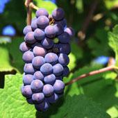 vanzare pomi fructiferi STRUGURI DE VIN - PINOT NOIR ciumbrud