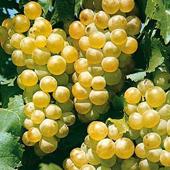vanzare pomi fructiferi STRUGURI DE VIN - FETEASCA REGALA ciumbrud