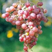 vanzare pomi fructiferi STRUGURI DE MASA - SPLENDID ciumbrud