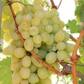 vanzare pomi fructiferi STRUGURI DE MASA - VICTORIA ciumbrud