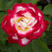 vanzare trandafiri double Delight ciumbrud