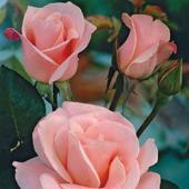 vanzare trandafiri flamingo ciumbrud