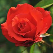 vanzare trandafiri holsteinperle ciumbrud