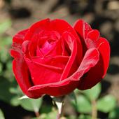 vanzare trandafiri ingrid Bergman ciumbrud