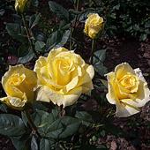 vanzare trandafiri mabella ciumbrud