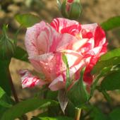 vanzare trandafiri morinaye ciumbrud