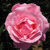vanzare trandafiri queen Elizabeth ciumbrud
