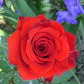 vanzare trandafiri red Berlin ciumbrud
