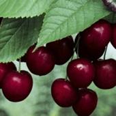 vanzare pomi fructiferi VISIN - CRISANA ciumbrud